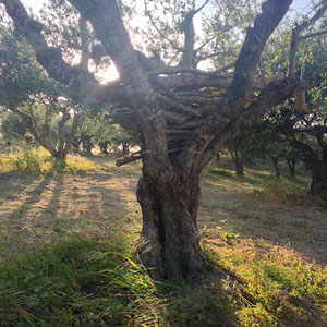 olijfgaard_4